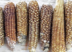 Chapalote Corn – The oldest corn in North America pops back up