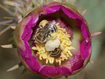 Healthy populations of bees are central to both bountiful crops and abundant wildflowers. Cactus bees (genus Diadasia) foraging in cholla flower. Photograph by Bryan E. Reynolds.