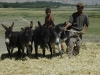Threshing cereals along the Silk Road