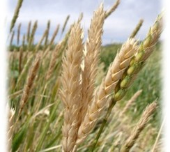 Coalition Receives Grant to Promote Arid-Adapted Heritage Grains in Southern Arizona