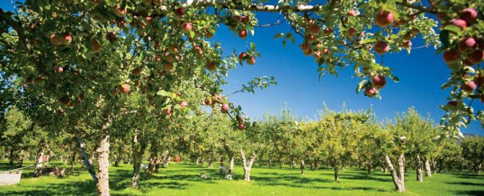 Heirloom Apples, Heritage Orchards & Cideries Bring Back Food Diversity and Jobs to Our Communities