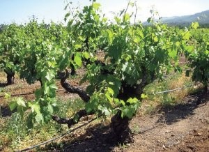 The Story of Mission Grapes – Arizonas First Varietal