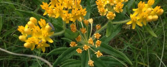 Making Room for Milkweeds and Monarchs
