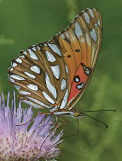 """Bottom up"" restoration ensures habitat for butterflies. Gulf fritillary (Agraulis vanilla), photographed by Bryan E. Reynolds."