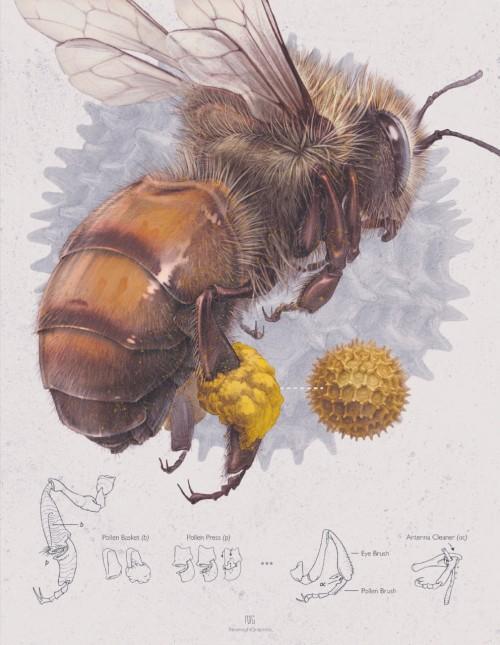 Pollinators Bees / Illustrations by Robert J. Long