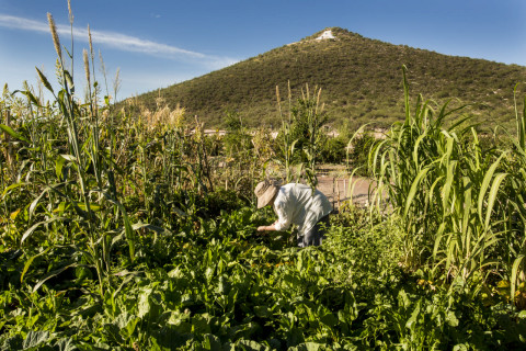 Tucson's Mission Garden is a re-creation of the gardens once built to feed the people associated with the Mission; today, heritage crops grow on one of the oldest continually farmed plots of land in North America. Photo by Jeff Smith.