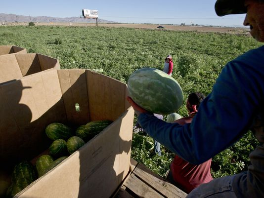 Migrant workers harvesting watermelons in 2013 on Northern Avenue at Delgado farms.(Photo: Nick Oza/The Republic)