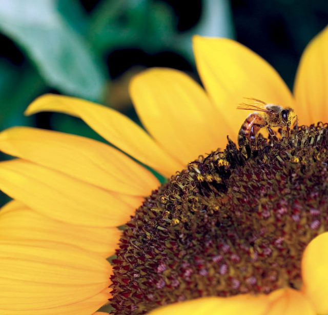 Without pollinators such as bees, there would be no chocolate, coffee or milk.