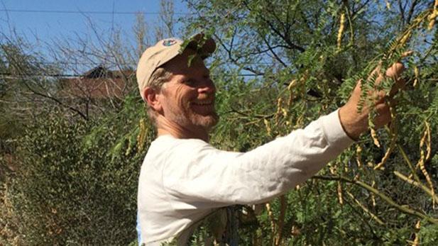 Brad Lancaster harvesting mesquite.