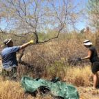 1_two-people-are-mesquite-picking-over-green-tarp-AZ-september-2020-1410x0-c-default