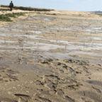 Mangrove Seedling Transplants Campo Sargento